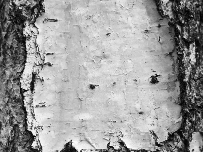 Primo piano della carta dello sfondo naturale di struttura della corteccia di betulla/foto in bianco e nero fotografie stock