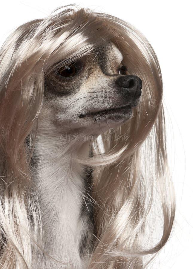 Primo piano della chihuahua con la parrucca lunga dei capelli immagine stock libera da diritti