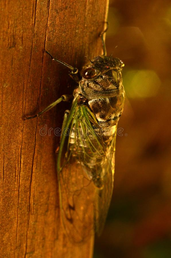 Primo piano della cicala dopo che ali spiegate fotografia stock libera da diritti