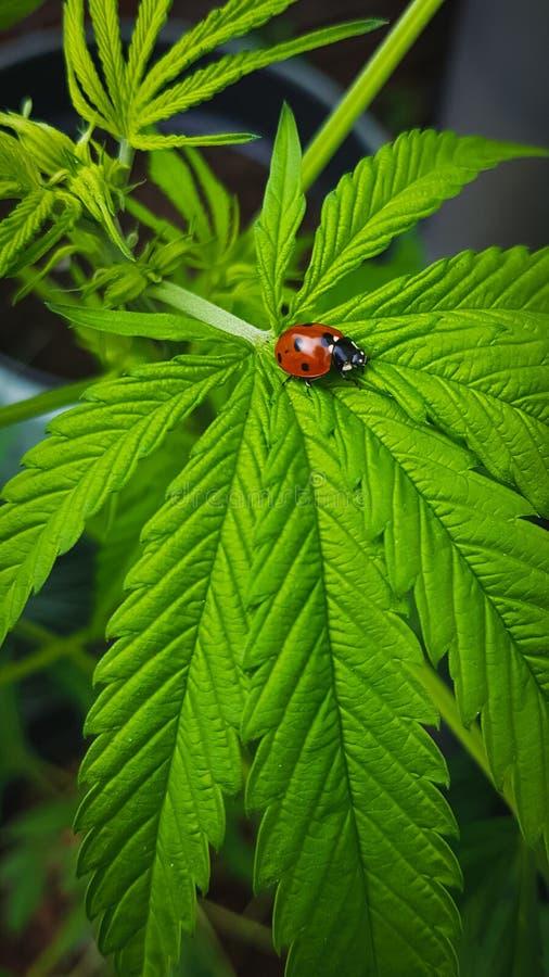 Primo piano della coccinella sulla grande, foglia verde della cannabis fotografia stock libera da diritti
