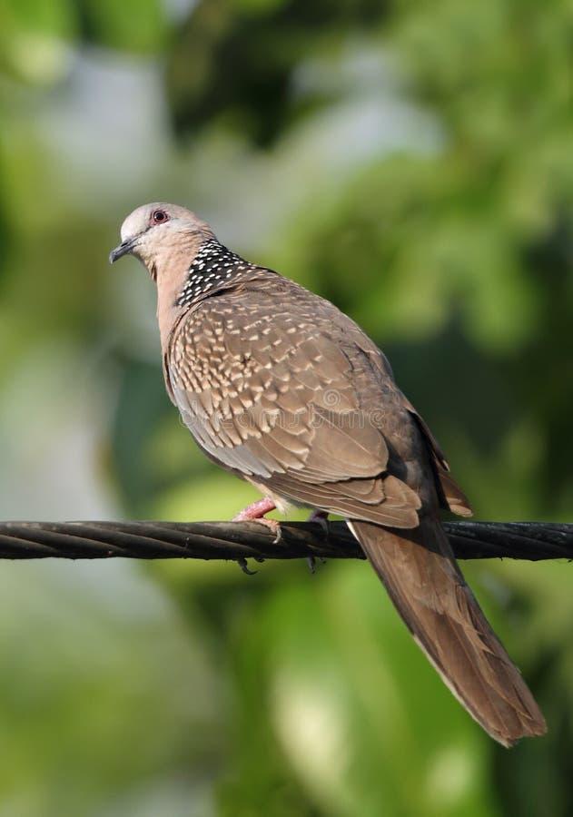 Primo piano della colomba macchiata immagine stock libera da diritti