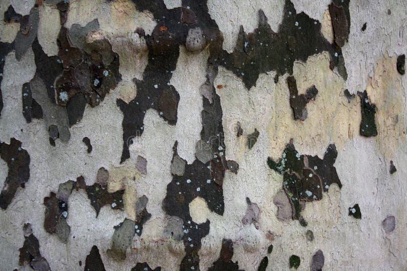 Primo piano della corteccia di albero della betulla bianca fotografia stock libera da diritti