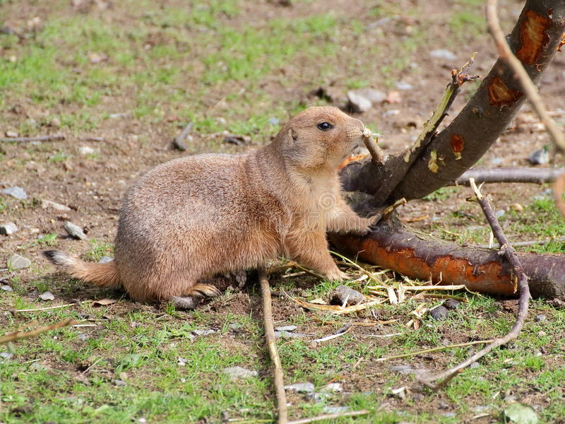 Primo piano della corteccia di rosicchiamento della marmotta immagini stock libere da diritti