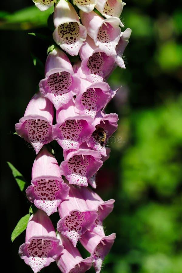 Primo piano della digitale porpora del glovecommon del ` s di signora del fiore di digitalis purpurea nel giardino di estate immagini stock libere da diritti