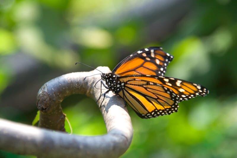Primo piano della farfalla di monarca su una filiale fotografie stock