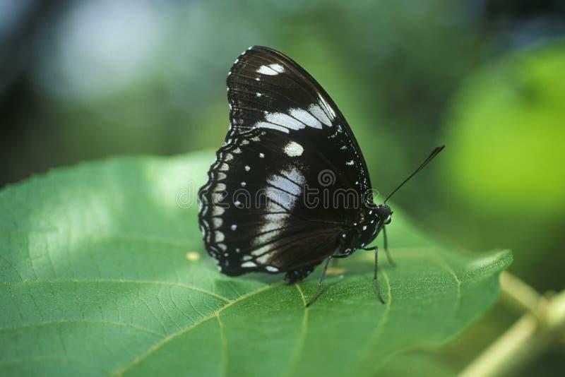 Primo piano della farfalla nera, Coconut Creek, FL immagine stock libera da diritti