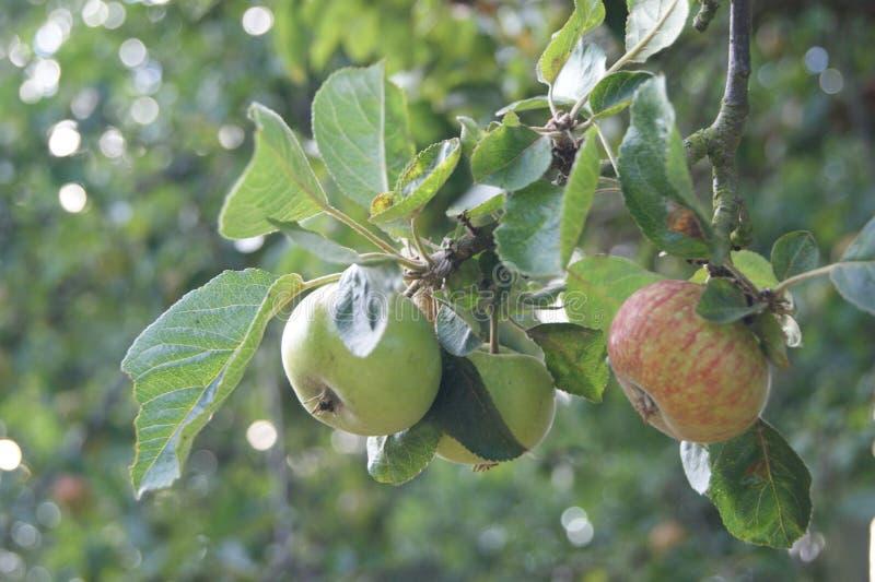 Primo piano della filiale di melo fotografia stock libera da diritti