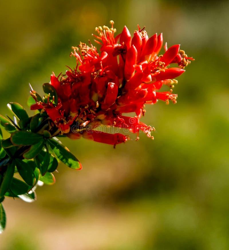 Primo piano della fioritura del Ocotillo fotografia stock