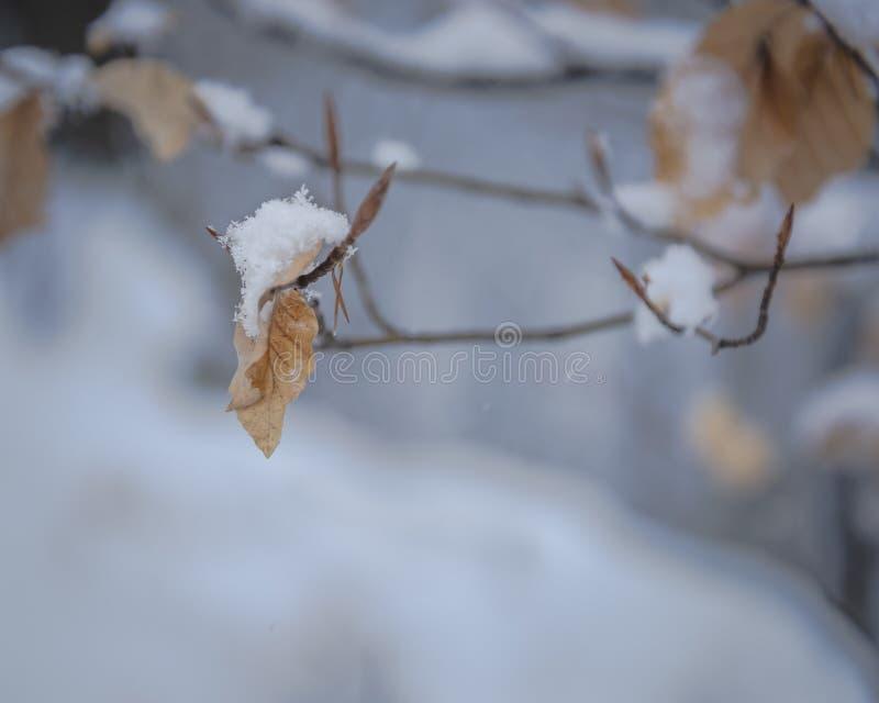 Primo piano della foglia coperto dai fiocchi di neve immagine stock libera da diritti
