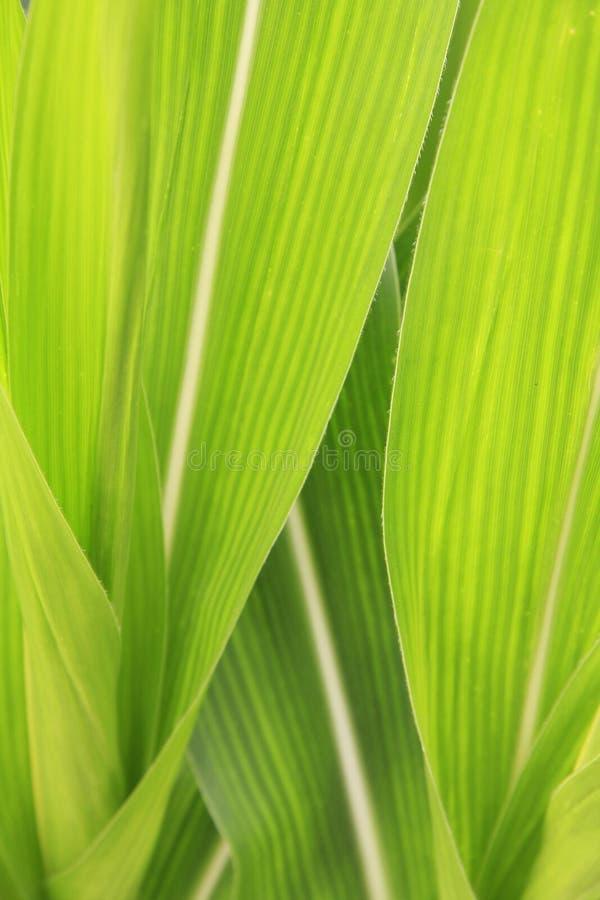 Primo piano della foglia del cereale immagini stock