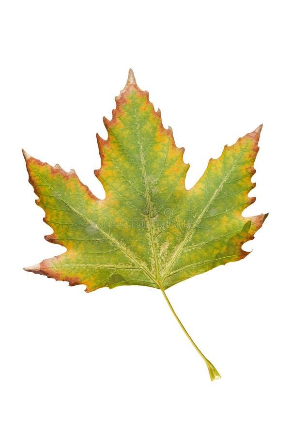 Primo piano della foglia di autunno dell'acero su bianco Foglia di acero di autunno isolata su priorità bassa bianca fotografia stock