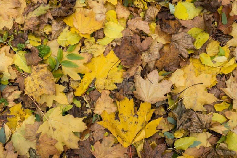 Primo piano della foto della coperta spessa dorata gialla variopinta di autunno delle foglie di acero asciutte cadute sul periodo immagine stock libera da diritti