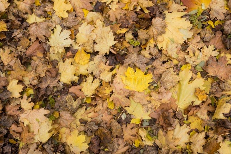 Primo piano della foto della coperta spessa dorata gialla variopinta di autunno delle foglie di acero asciutte cadute sul periodo fotografie stock