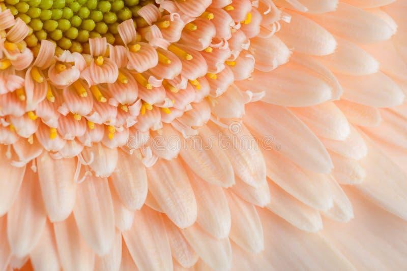 Primo piano della gerbera del ` s di colore dell'albicocca immagini stock libere da diritti