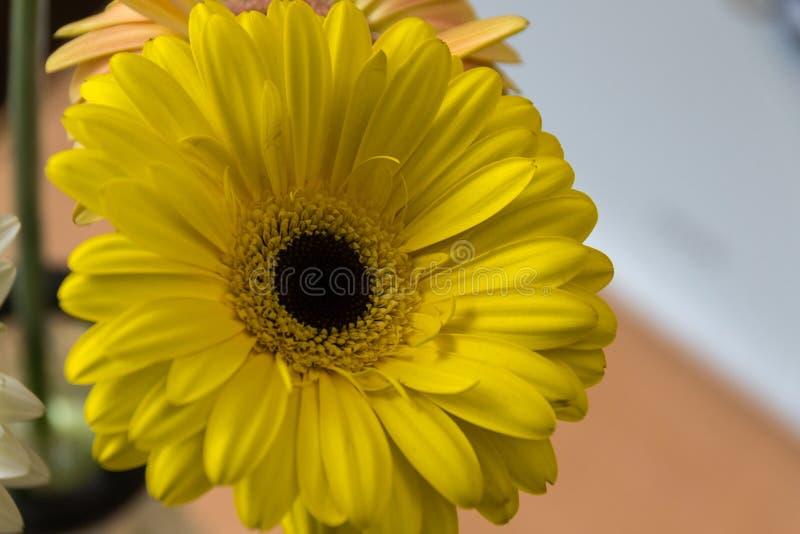 Primo piano della gerbera gialla del fiore: è un genere delle piante erbacee della famiglia di asteraceae che proviene dall'Afric immagine stock