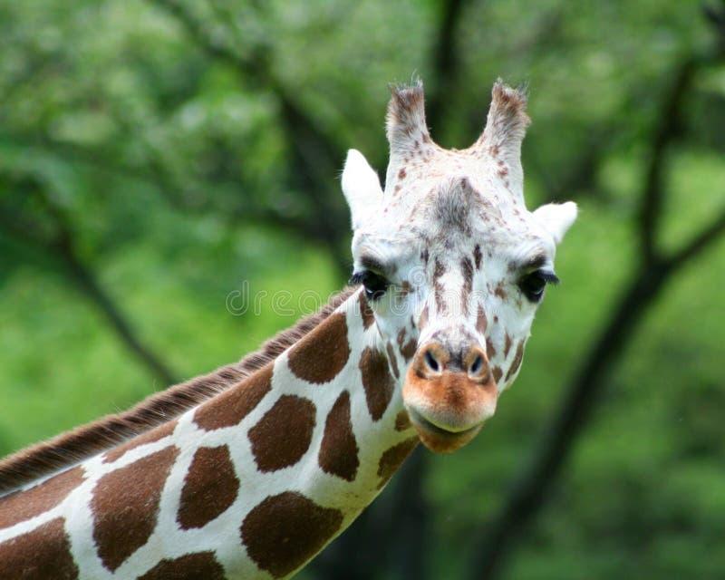Primo piano della giraffa fotografia stock