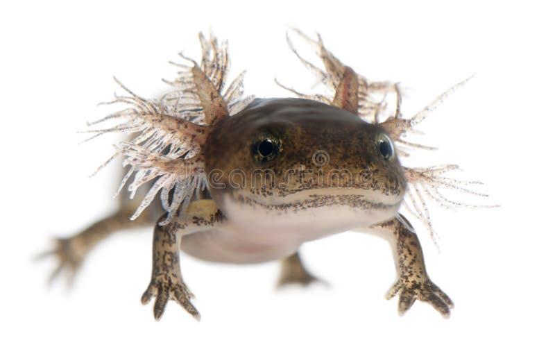 Primo piano della larva del salamander di fuoco fotografie stock libere da diritti