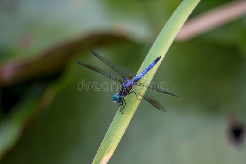 Primo piano della libellula blu e verde che si siede su una foglia fotografia stock