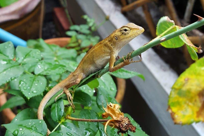 Primo piano della lucertola del camaleonte nel giardino immagini stock libere da diritti