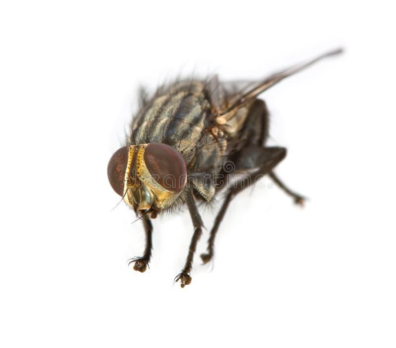 Primo piano della mosca della Camera fotografie stock