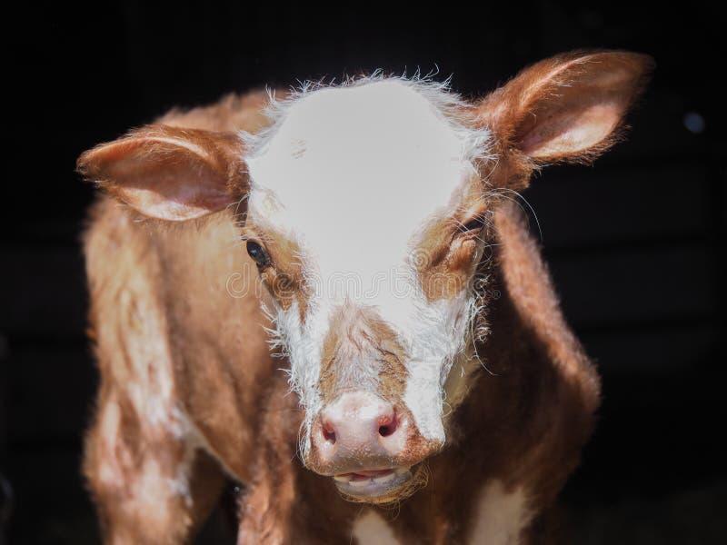 Primo piano della mucca o del vitello sveglia del bambino immagine stock