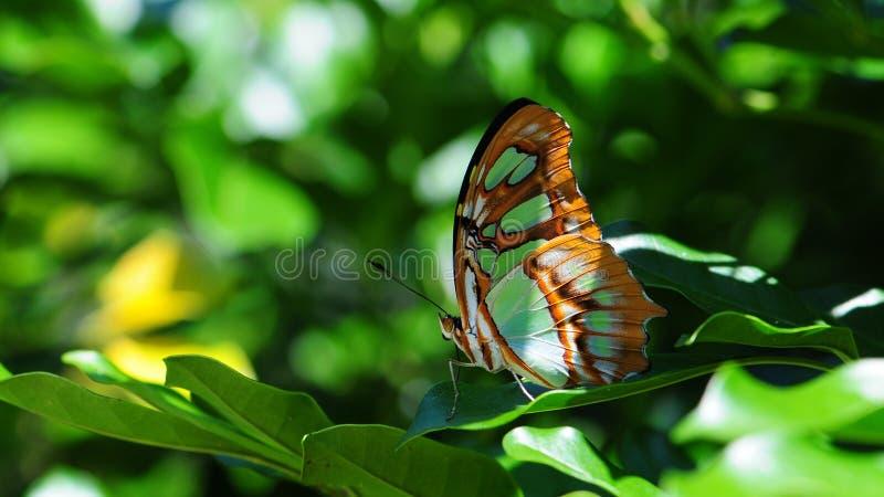 Primo piano della parte di sotto della farfalla della malachite fotografie stock libere da diritti