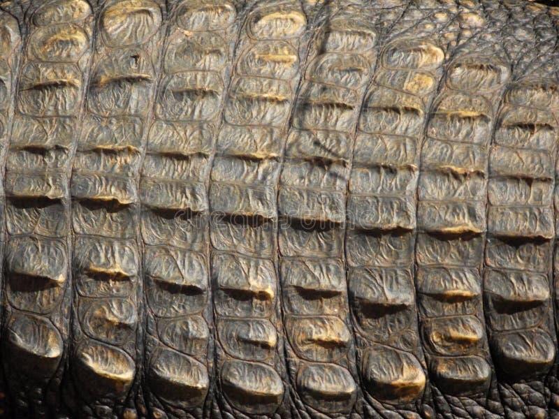 Primo piano della pelle del coccodrillo immagine stock libera da diritti