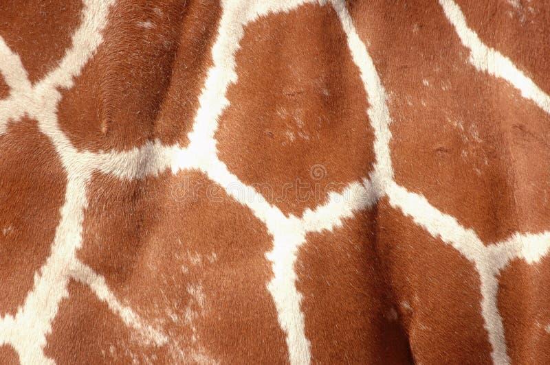 Primo piano della pelle della giraffa immagine stock