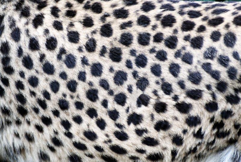 Primo piano della pelliccia del ghepardo fotografia stock libera da diritti