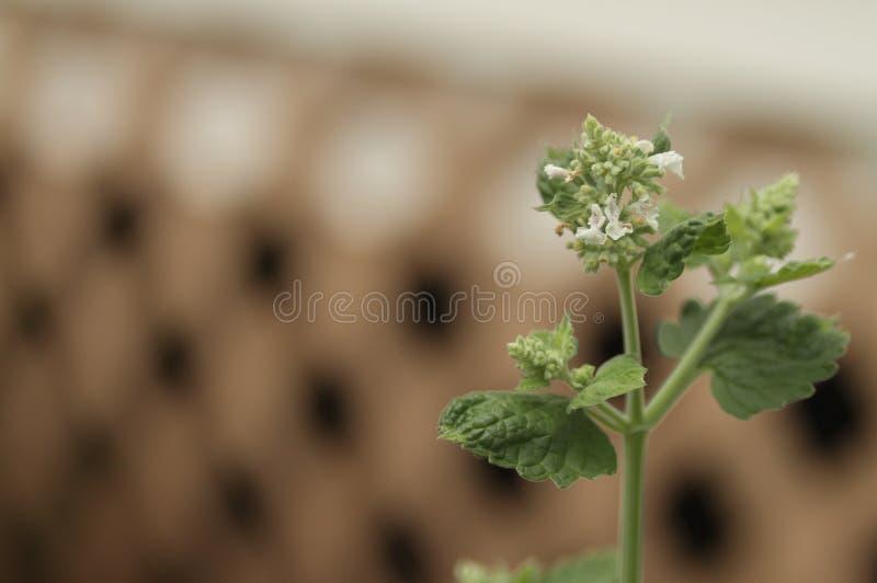 Primo piano della pianta del Catnip con le fioriture immagine stock