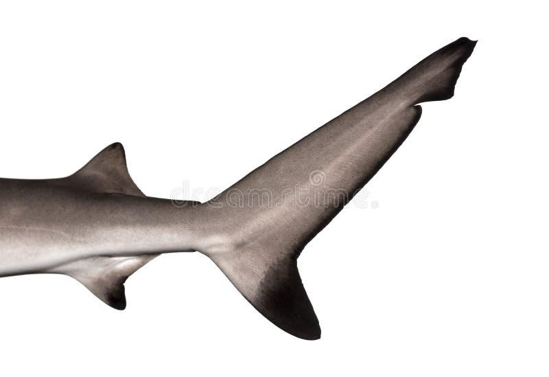 Primo piano della pinna caudale di Blacktip di uno squalo della scogliera immagine stock libera da diritti