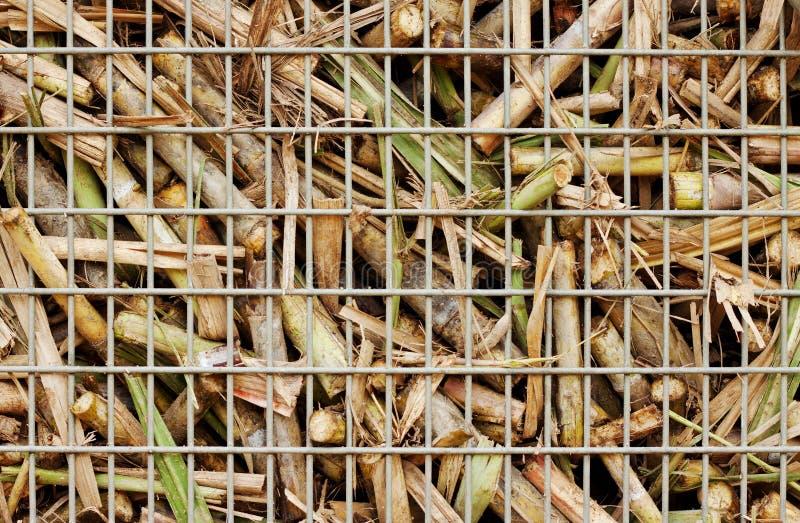 Primo piano della raccolta della canna da zucchero fotografia stock libera da diritti