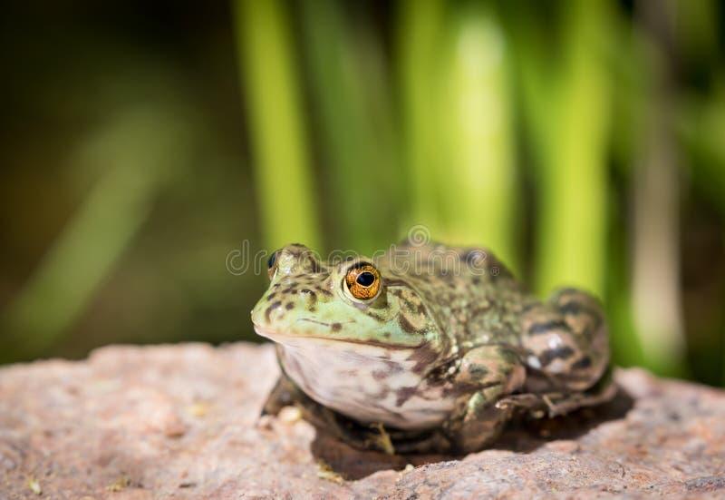 Primo piano della rana - sedendosi da uno stagno immagine stock libera da diritti