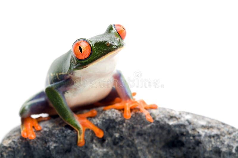 Primo piano della rana su bianco fotografia stock