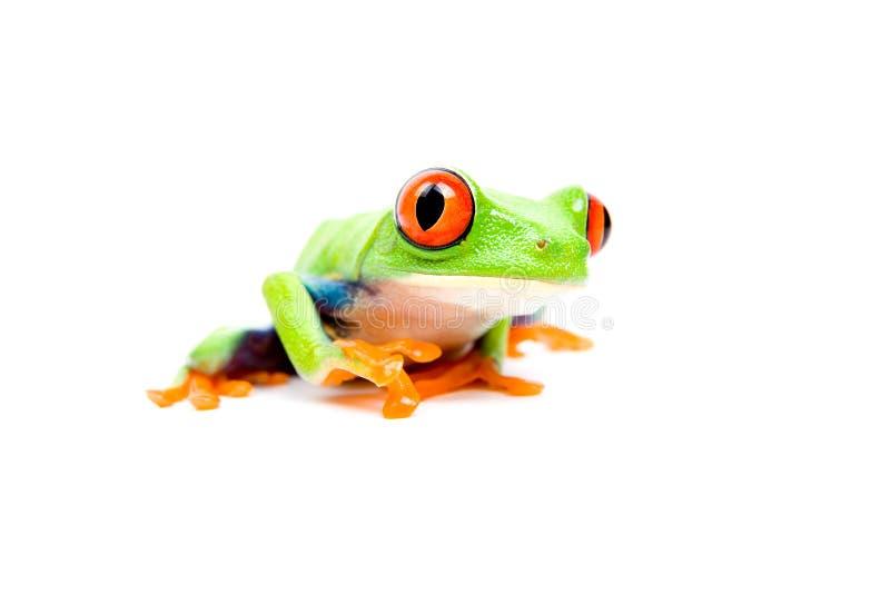 Primo piano della rana su bianco immagini stock