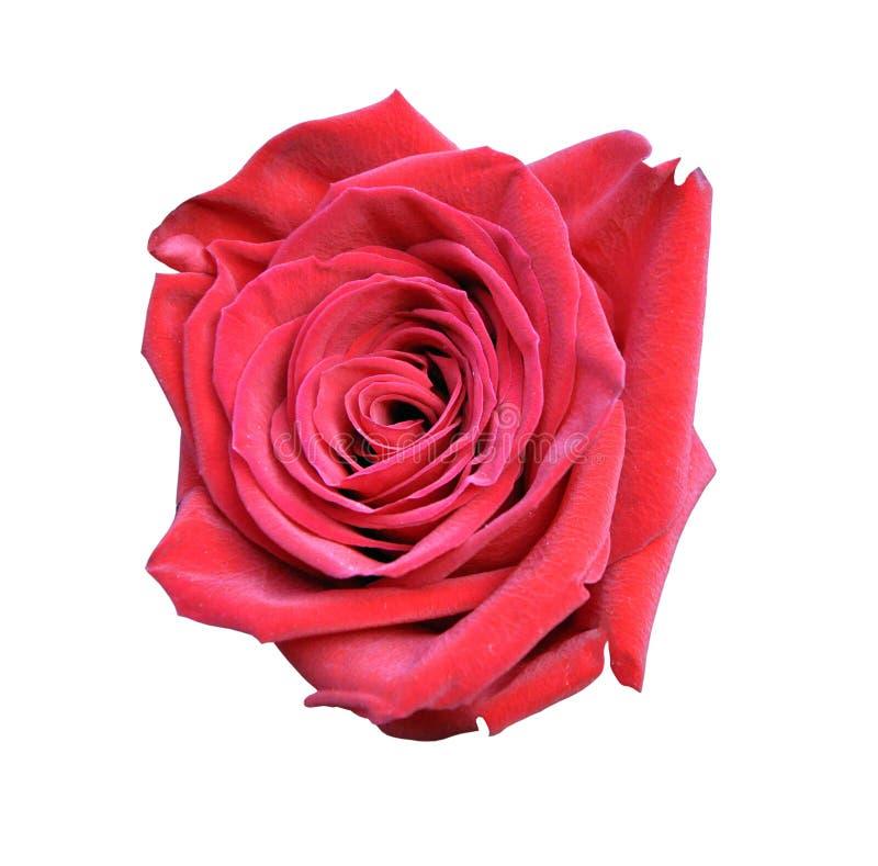 Primo piano della rosa rossa isolato su fondo bianco, grande fiore immagini stock