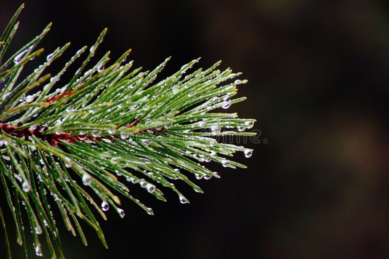 Primo piano della rugiada di mattina su un ramo di un pino verde immagine stock libera da diritti