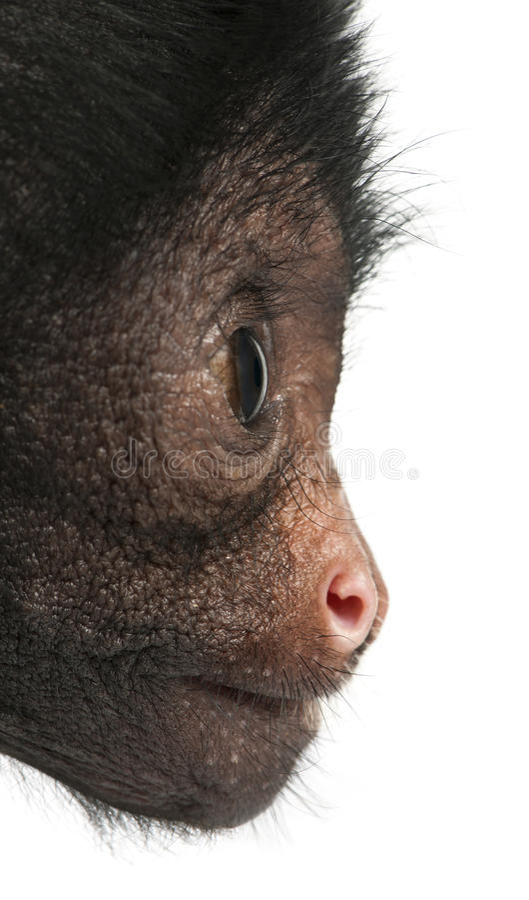 Primo piano della scimmia di ragno Red-faced immagine stock libera da diritti
