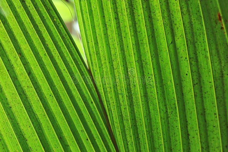 Primo piano della siluetta sulle giovani foglie della piantina del cocco immagine stock libera da diritti