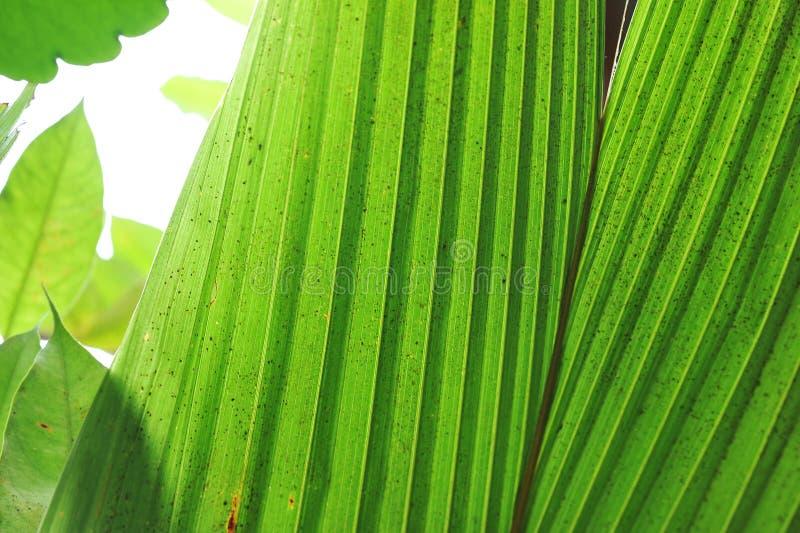 Primo piano della siluetta sulle giovani foglie della piantina del cocco fotografia stock