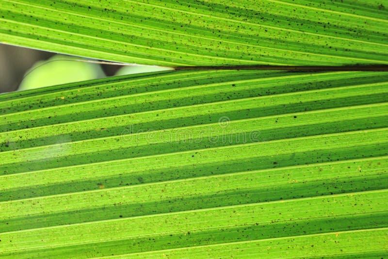 Primo piano della siluetta sulle giovani foglie della piantina del cocco fotografie stock