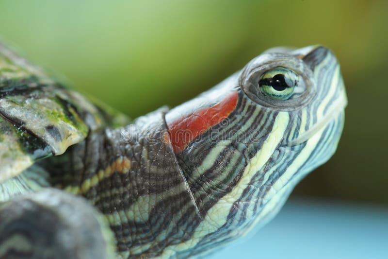 Primo piano della tartaruga fotografia stock