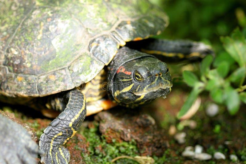 Primo piano della tartaruga fotografia stock libera da diritti