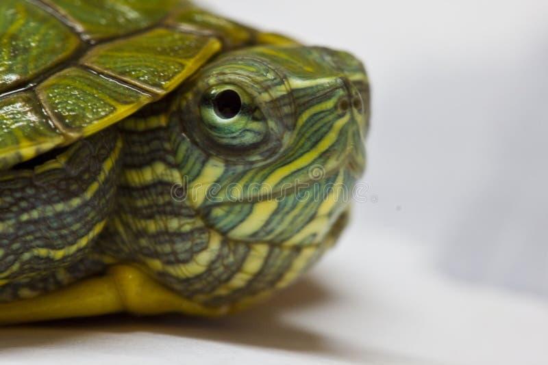 Primo piano della tartaruga del bambino fotografie stock