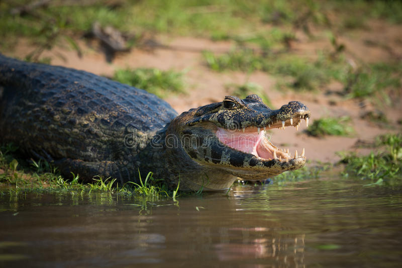 Primo piano della testa del caimano del yacare sulla sabbia fotografie stock