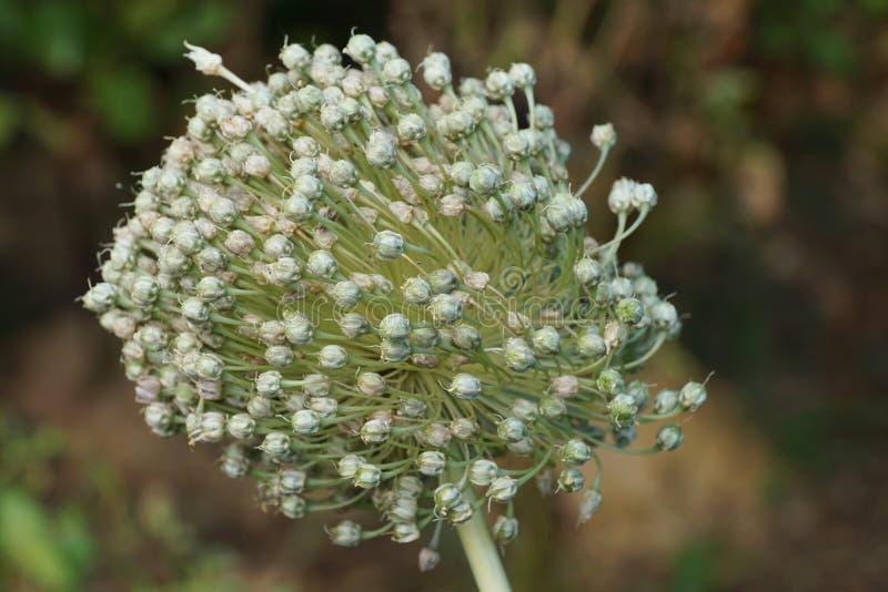 Primo piano della testa del seme dell'allium cepa della cipolla che cresce in Th immagine stock libera da diritti