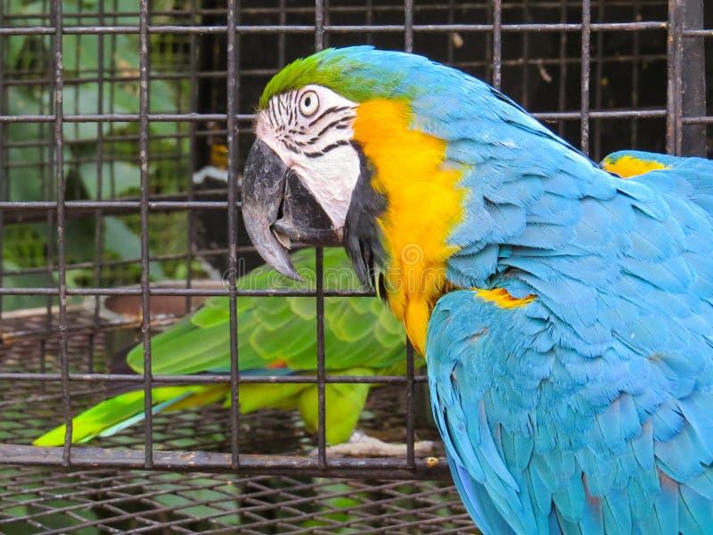 Primo piano della testa di un'ara blu-e-gialla fotografia stock libera da diritti
