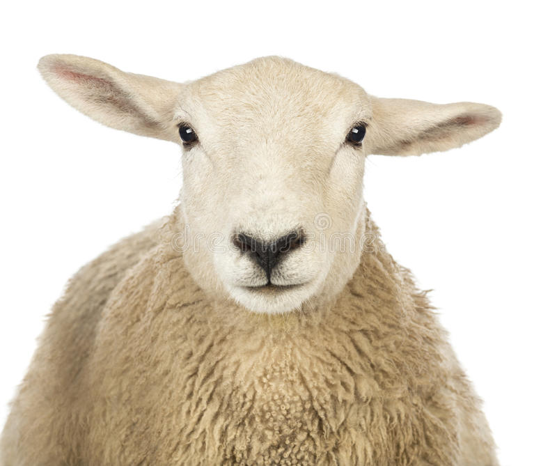 Primo piano della testa di una pecora fotografia stock