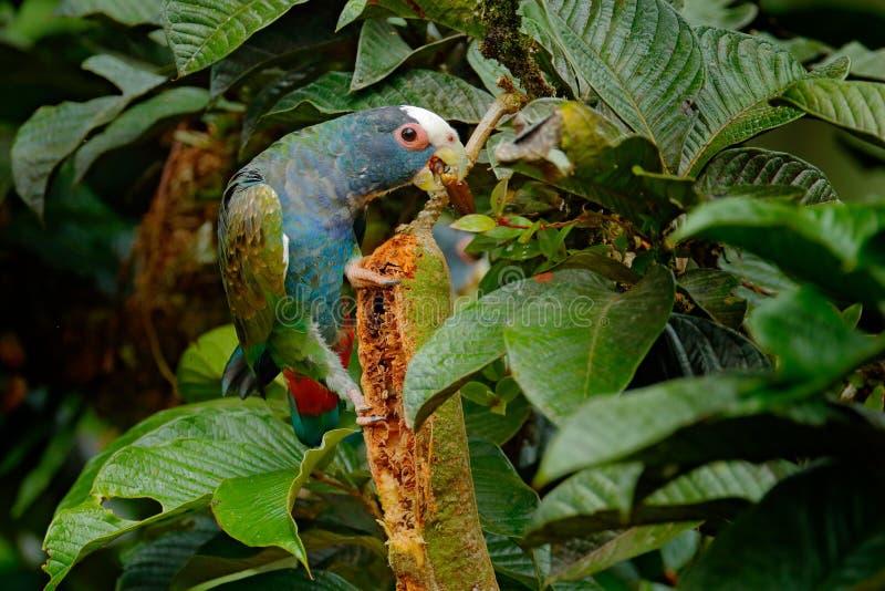 Primo piano della testa Ritratto del pappagallo, permesso verde Coppie il pappagallo verde e grigio degli uccelli, Pionus dal col fotografia stock