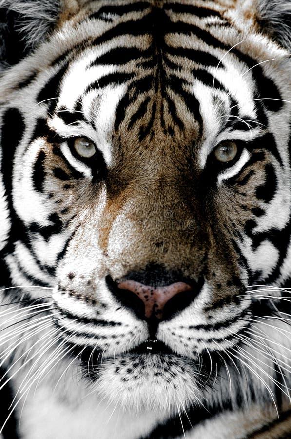 Primo piano della tigre del fronte immagini stock libere da diritti